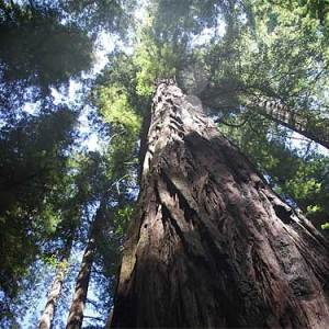 redwoodsfrisco